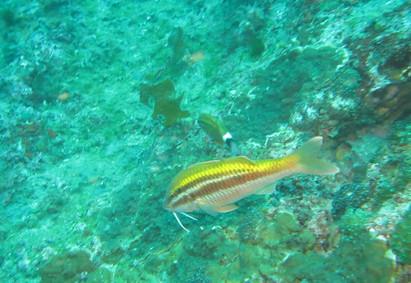 Goatfish foraging in patchy habitat