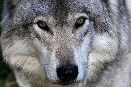 640px-Grey_wolf.jpg