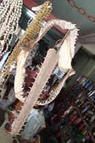 Sawfish rostrum and shark jaw in Umbanda shop, São Luis, Brazil