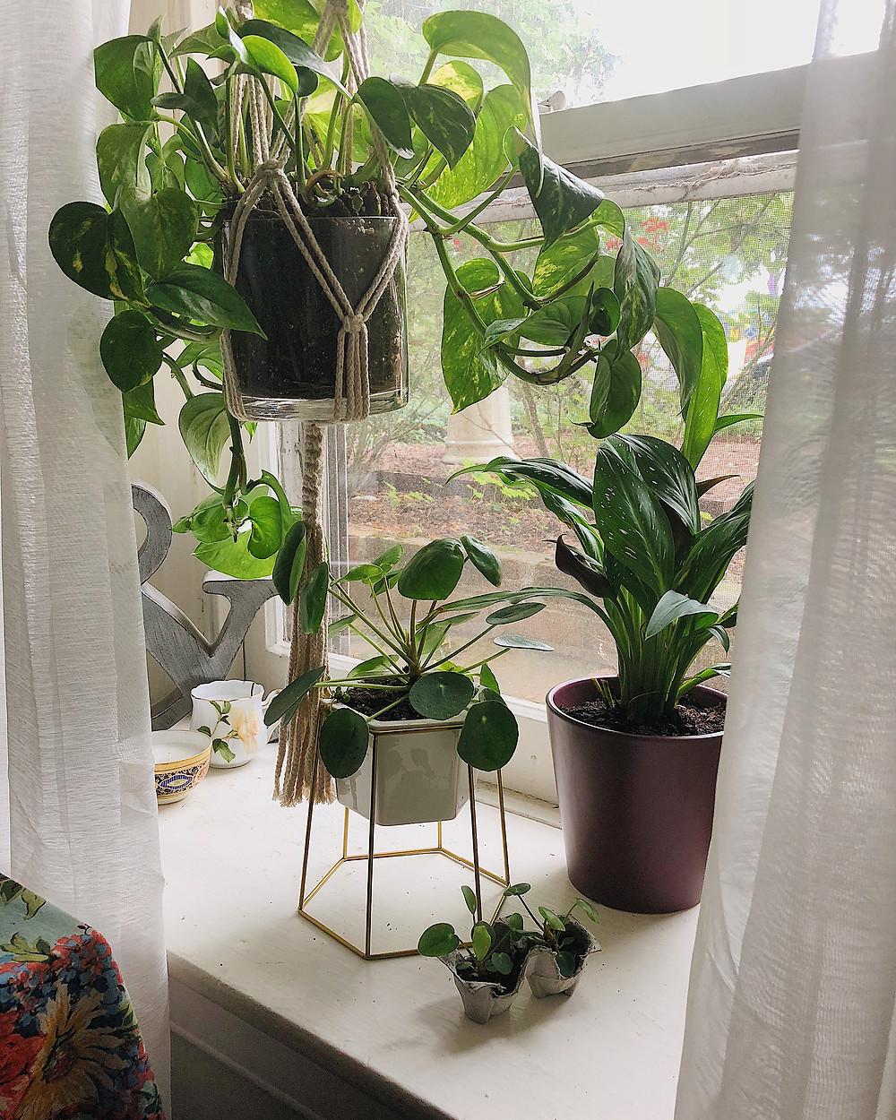 hanging plants in windowsill