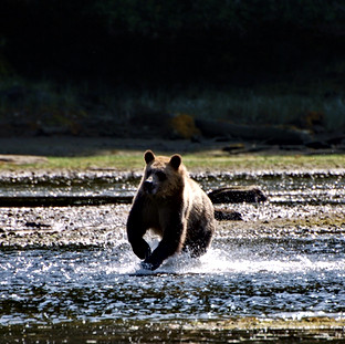 Mainland Grizzly