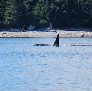 Orca on the North Shore