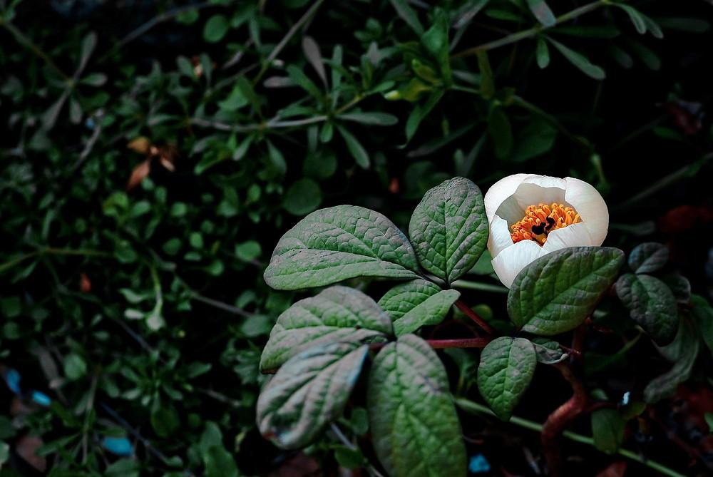 Paeonia lactiflora bei wiederholtem Einnistungsversagen