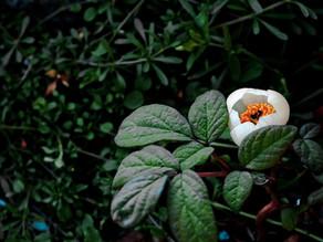 Wiederholtes Einnistungsversagen und TCM-Kräuter ,,Paeonia lactiflora''