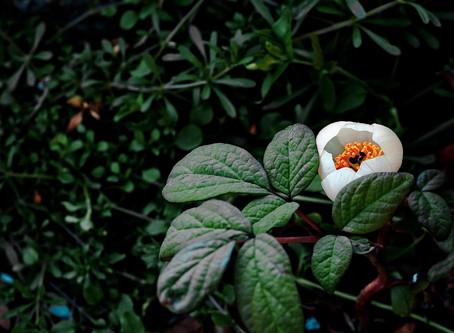Wiederholtes Einnistungsversagen und TCM-Kräuter ,,작약, Paeonia lactiflora''