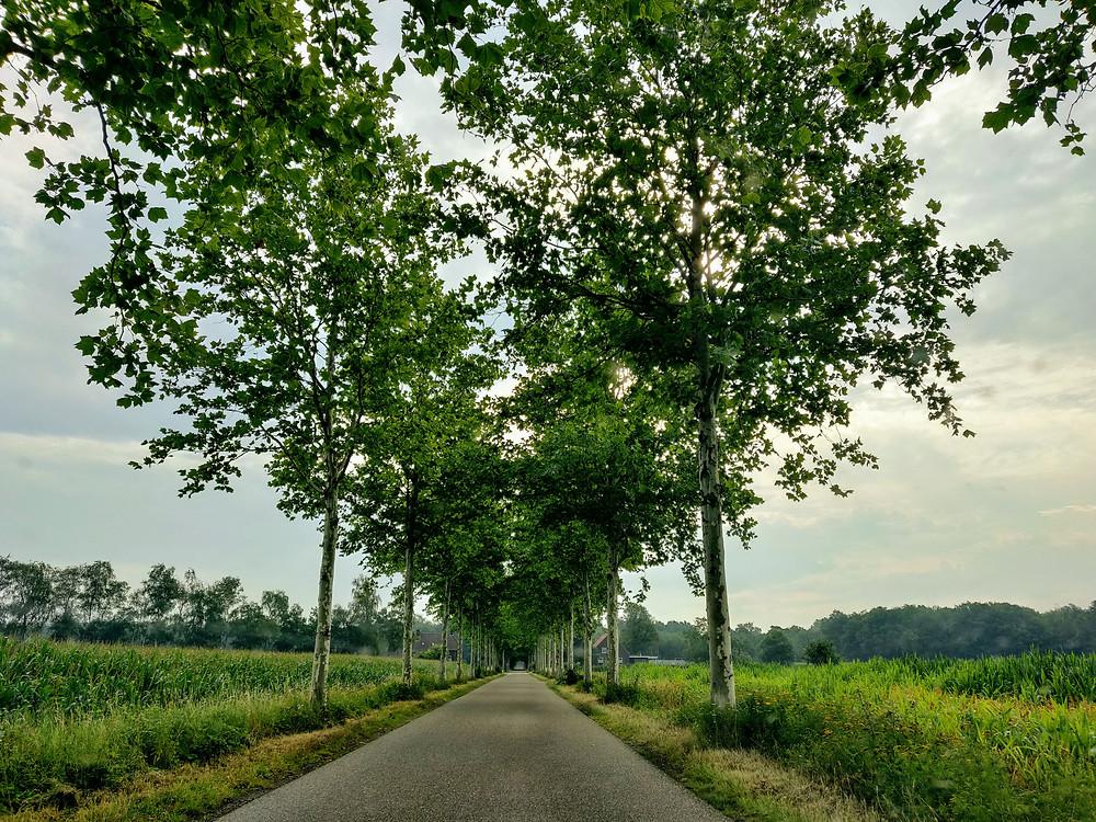 שדרת עצים ובצידיה שדות תירס