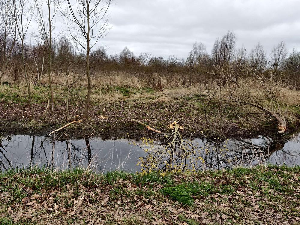 עצים שכרסם הבונה לבניית הסכר