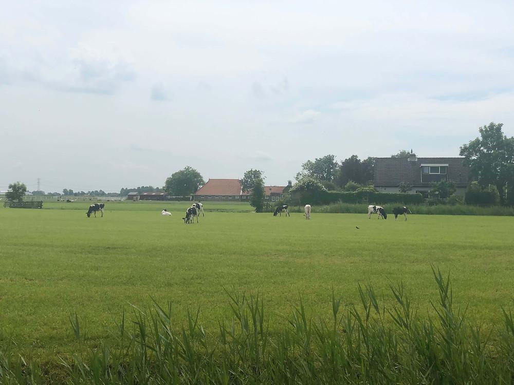 פרות באחו הירוק בפריזלנד