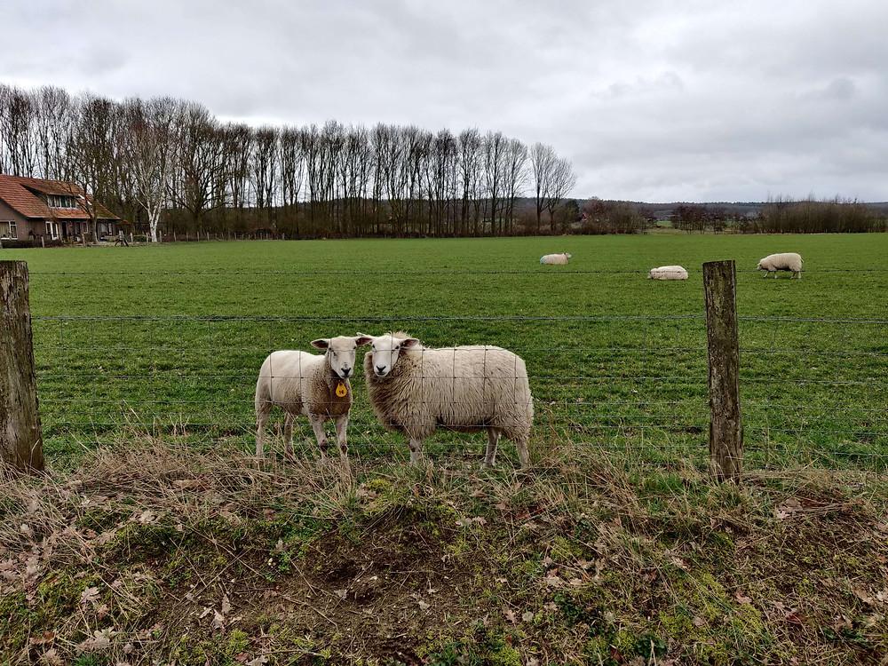 צמד כבשים באחו