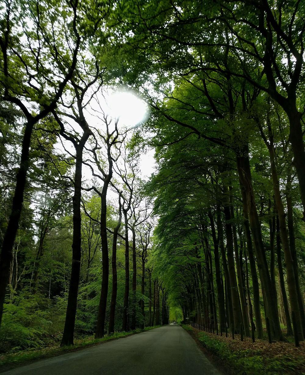 שדרת עצים