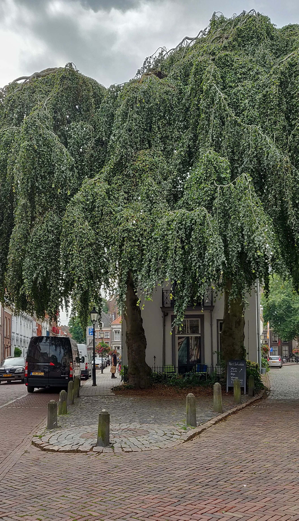 שני עצי אשור עתיקים