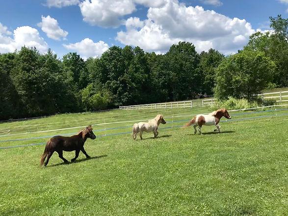 Herd of minis trotting through the pasture