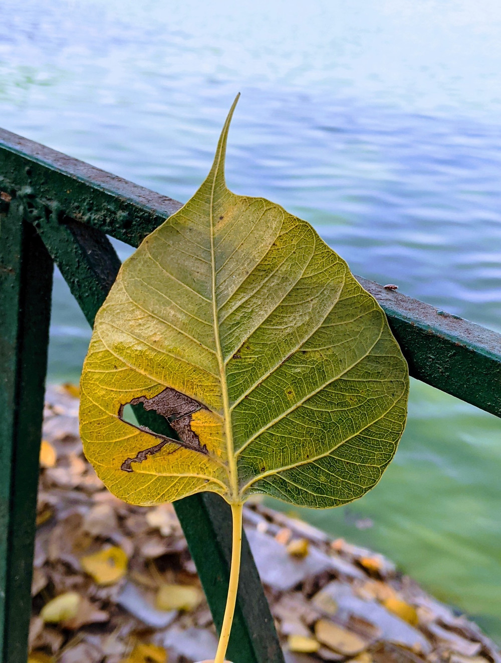 A leaf full of life on one side and beginning to rot on the other