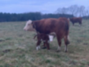 Mom and Calf 5.jpg