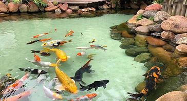 Lago ornamental com carpas