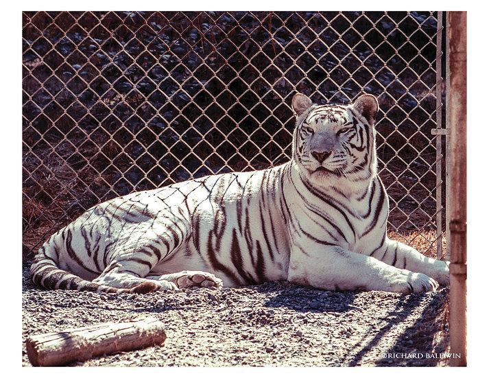 "8X10"" White Tiger Glossy Print"