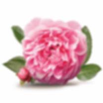 rosa-damascena-profumo-cosmetici-prodott