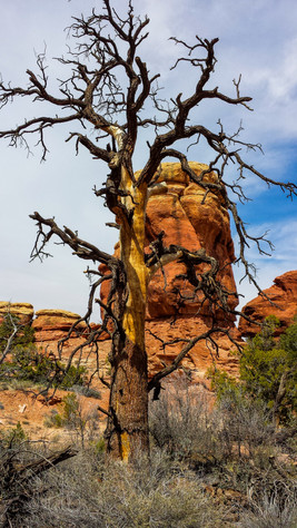 Dead tree at Red Rocks
