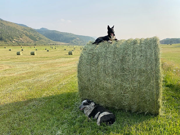 dogs on hay.jpeg