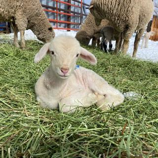 lamb w sheep behind.jpeg