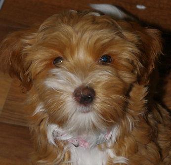 Labradoodle Puppy Vancouver