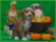 WALA registered Australian Labradoodle puppy