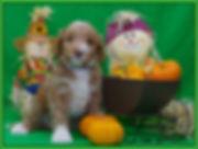 ALAA registered Australian Labradoodle puppy