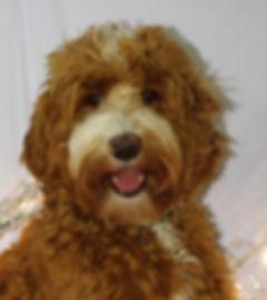Labradoodle Puppy BC