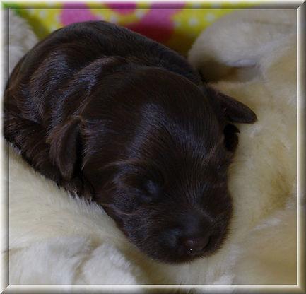 Australian Labradoodle Puppy Vancouver