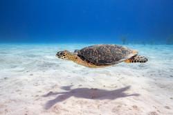 Turtle Cruising