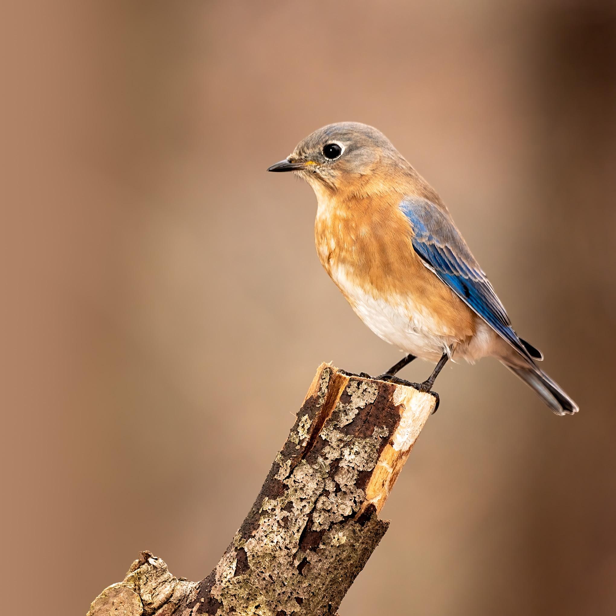 Eastern Bluebird female 3