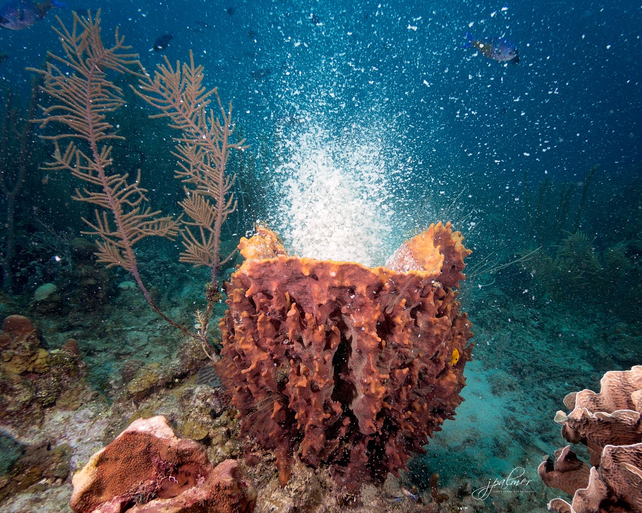 Spawning Barrel Sponge