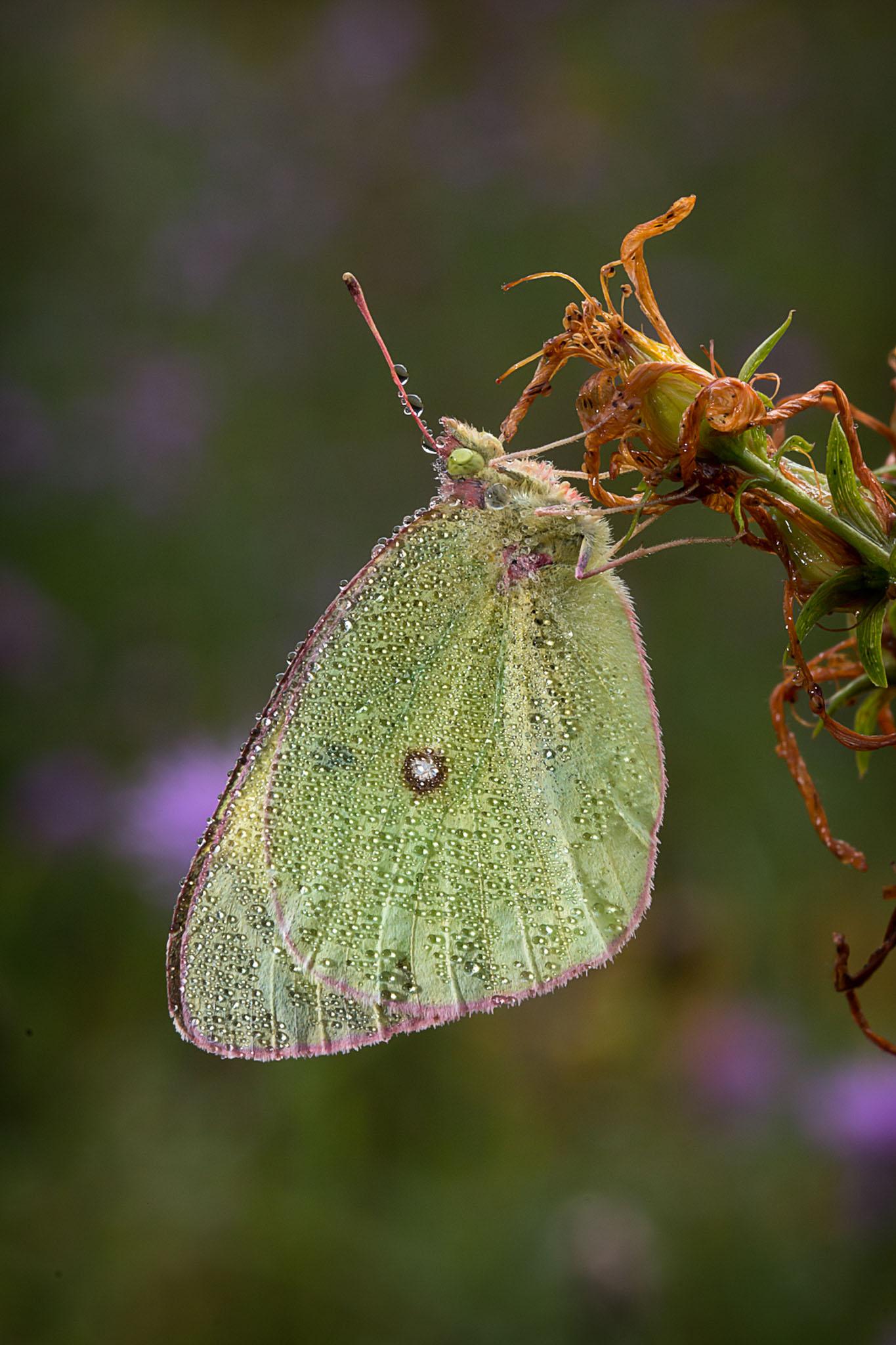 Dewy butterfly