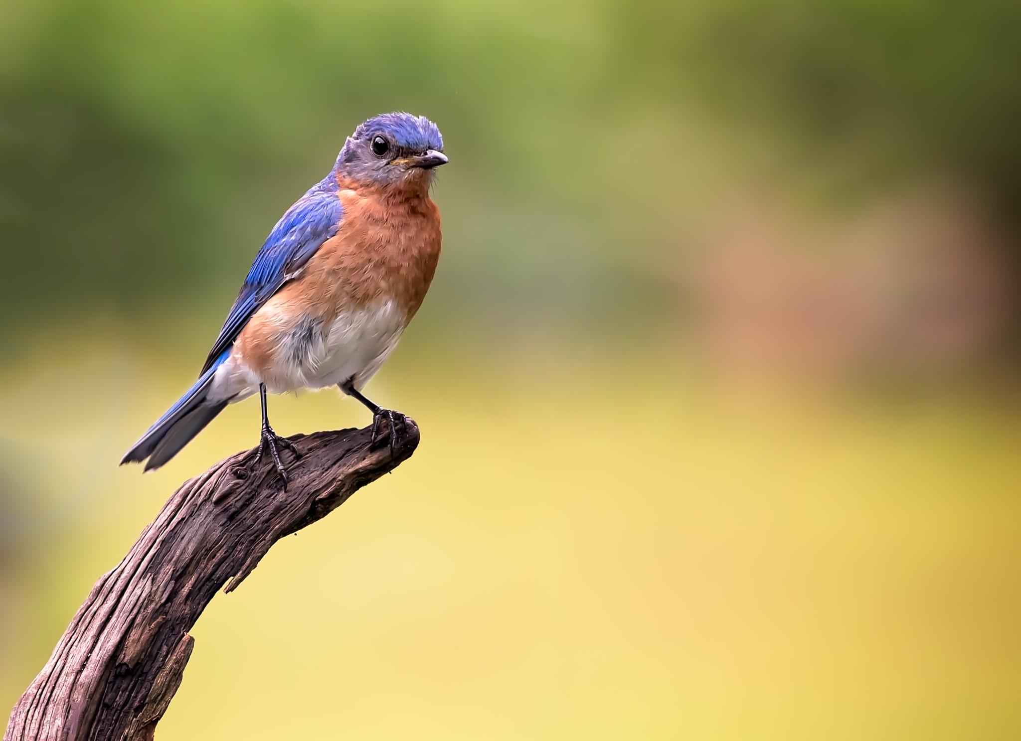 Eastern Bluebird 9