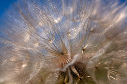 Salsify with lensbaby