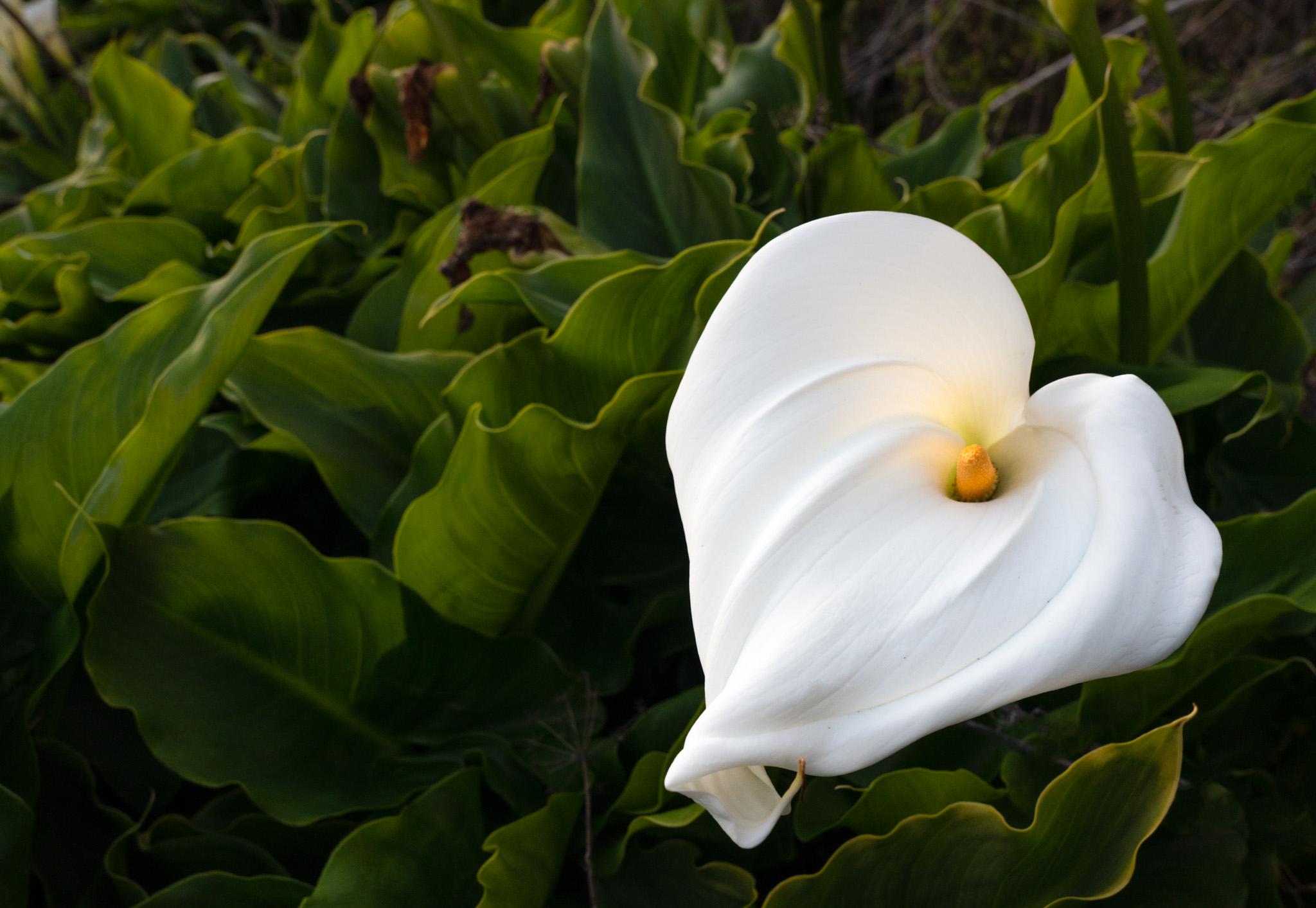 Big Sur Cala lily wild