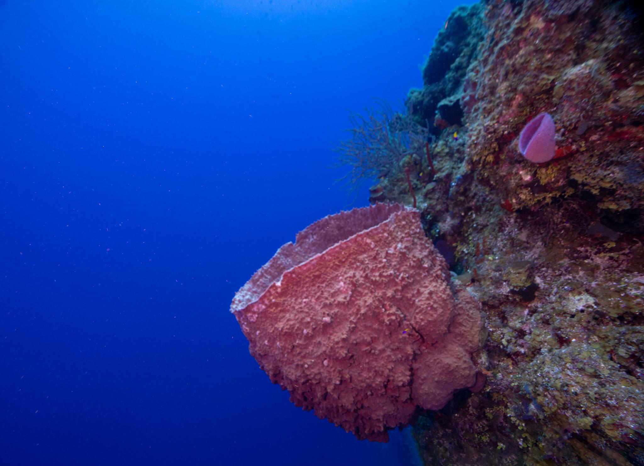 Giant Barrel Sponge