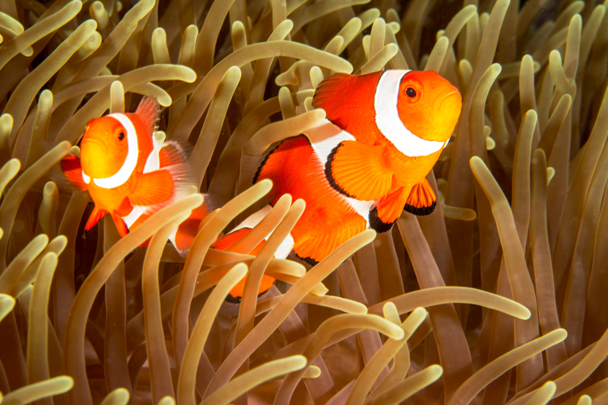 Clownfish duo
