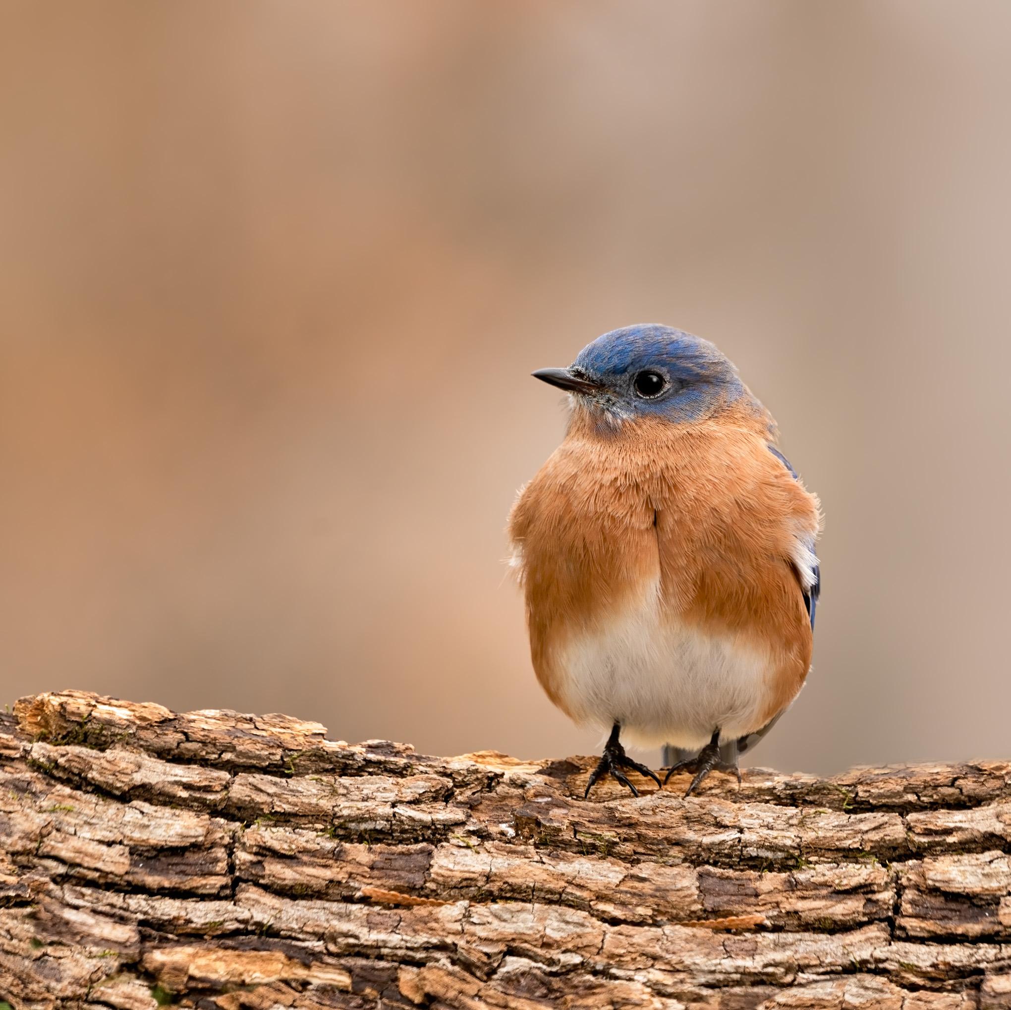 Eastern Bluebird 6