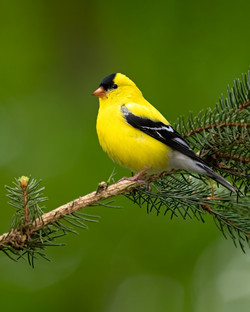 Spring male American goldfinch
