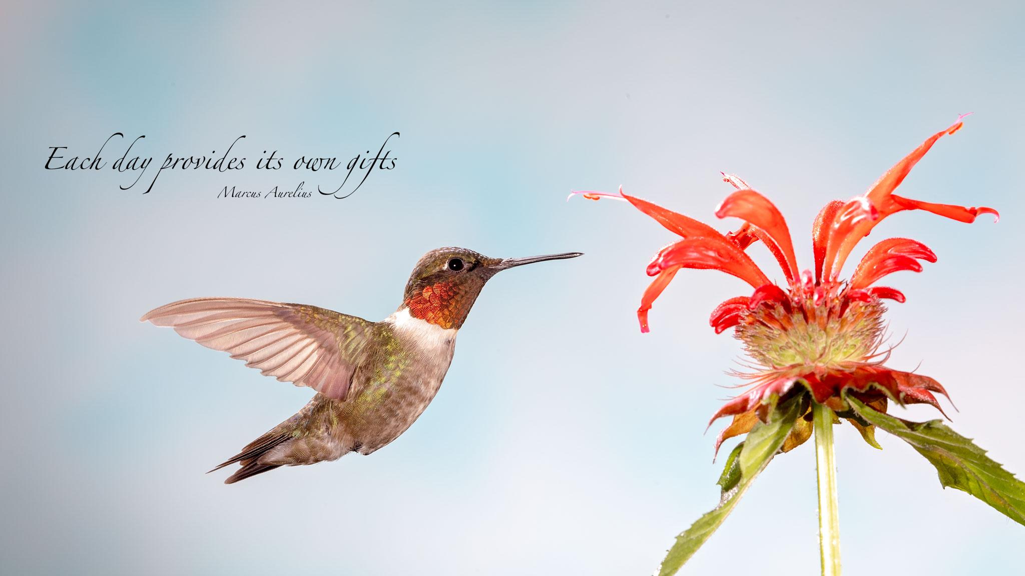 Ruby Throated Hummingbird 4