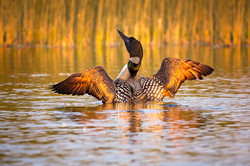 Loon in Golden Light