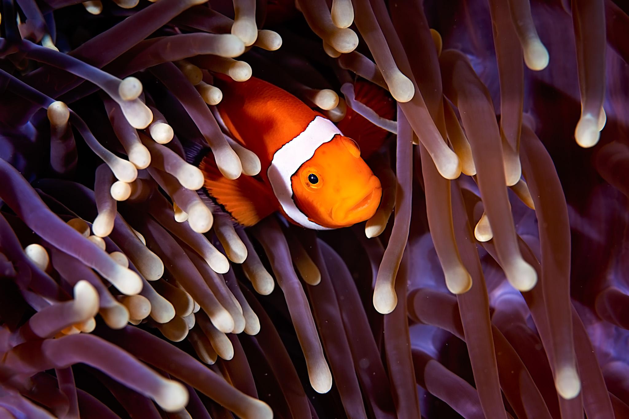 Clownfish3