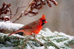 Cardinal in the Snow 1