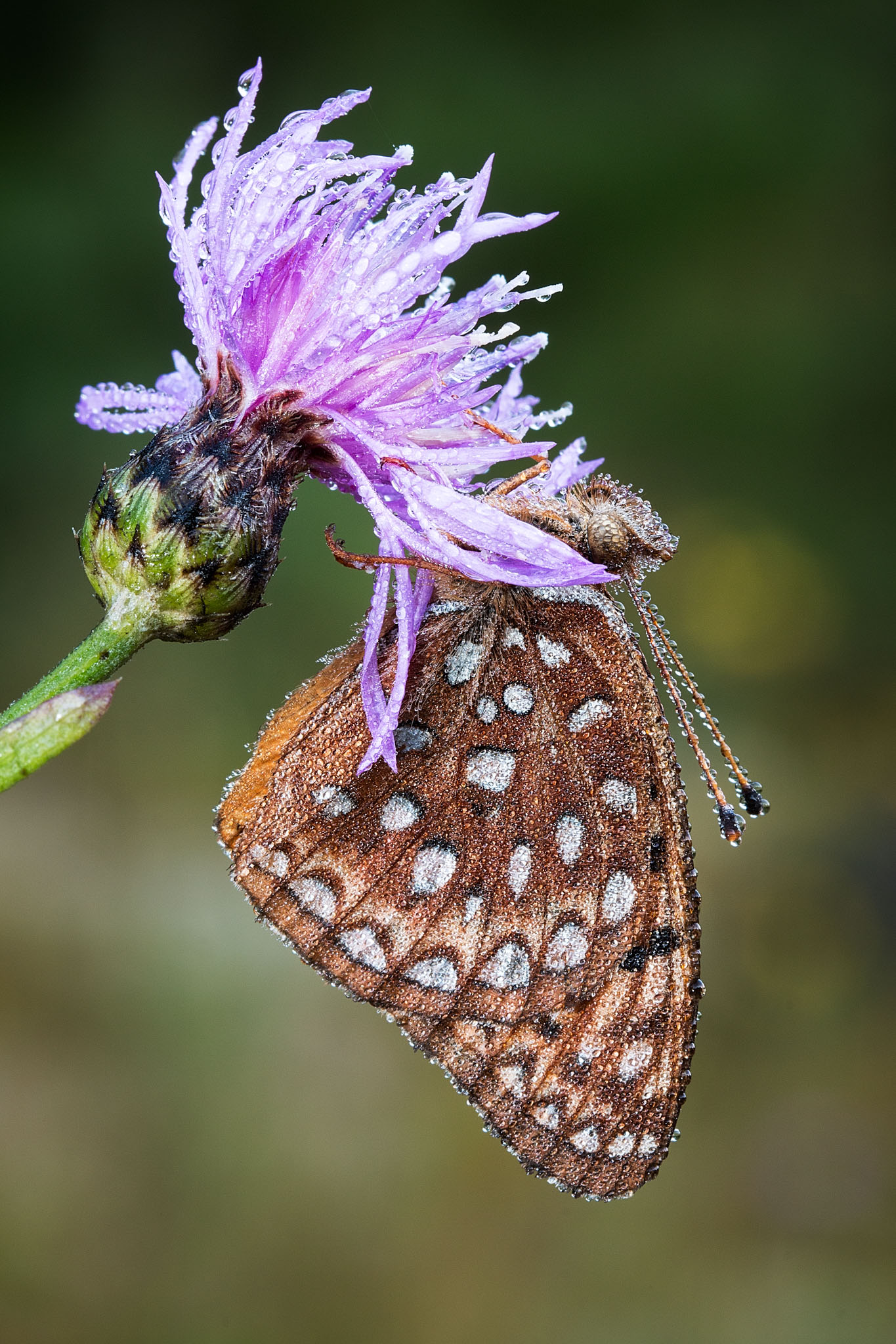 Early morning Butterfly