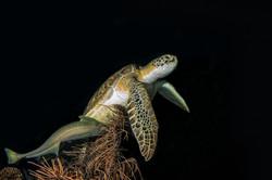 Night Turtle