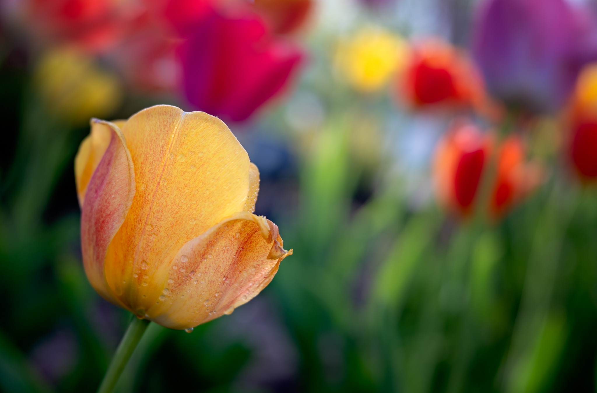 Tulips with Lensbaby3