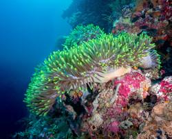 Anemone Indonesia