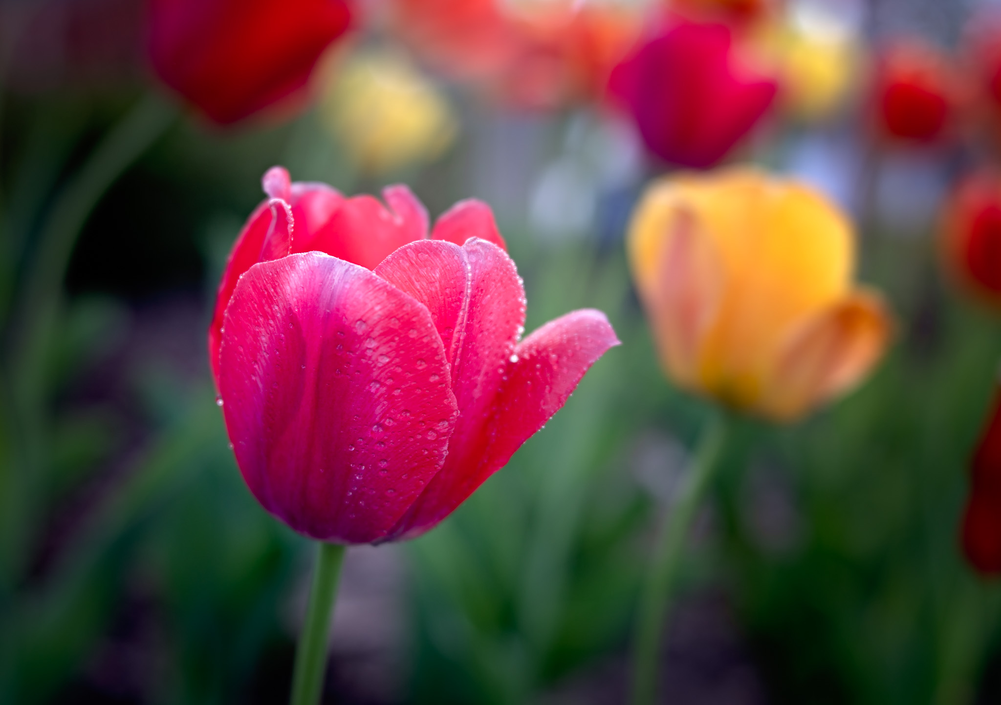 Tulips with Lensbaby