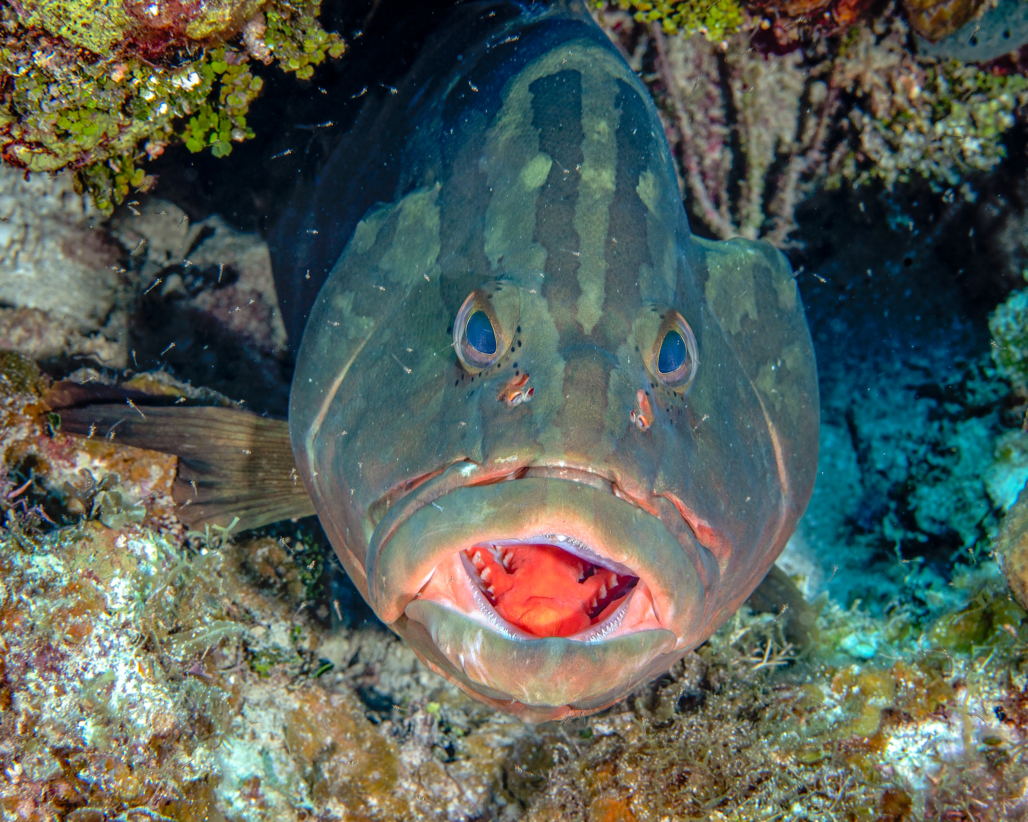 Grouper cleaning station